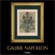 Botany - Vegetable - Flowers - Red poppy - Papaver rhoeas - Papaveraceae