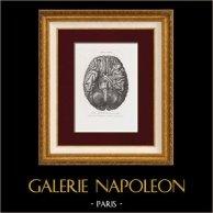 Anatomy - Neurology - Rheumatology - Brain - Tabula Prima
