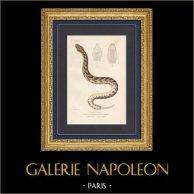 Reptiles - Serpents - Vipères - Vipère heurtante - Vipère péliade - Vipère aspic