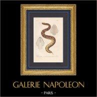 Reptiles - Serpents - Vipère - Vipère du Gabon