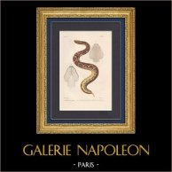 Kräldjur - Ormar - Viperorna - Gabonhuggorm
