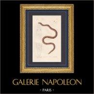 Reptiles - Serpientes - Calamaire de Linné - Calamaria Linnoei