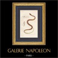 Reptiles - Serpents - Rhinosime de Guérin