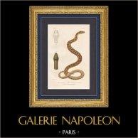 Reptiles - Serpents - Alecto panachée