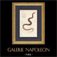 Reptiles - Serpents - Couleuvre - Stenorhine de Fréminville - Stenorrhina freminvillei