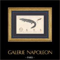 Amphibiens - Urodèles - Triton - Salamandre - Ménopome des monts Alleghanis - Salamandre-alligator | Gravure originale en taille-douce sur acier gravée par Mougeot d'après Prêtre. Aquarellée à la main. 1850