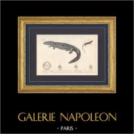 Amfibieën - Urodela - Triton - Salamander - Hellbender