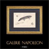Amphibiens - Urodèles - Siredon - Axolotl - Salamandre - Ménobranche à raie latérale | Gravure originale en taille-douce sur acier gravée par Mougeot d'après Prêtre. Aquarellée à la main. 1850