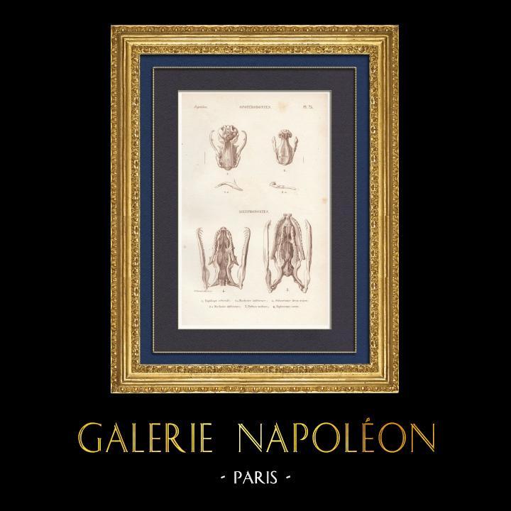 Antique Prints & Drawings   Reptiles - Snake - Jaw - Typhlops - Typhlops reticulatus   Intaglio print   1850