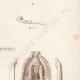 DETAILS 05   Reptiles - Snake - Jaw - Typhlops - Typhlops reticulatus