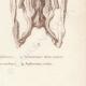 DETAILS 08   Reptiles - Snake - Jaw - Typhlops - Typhlops reticulatus