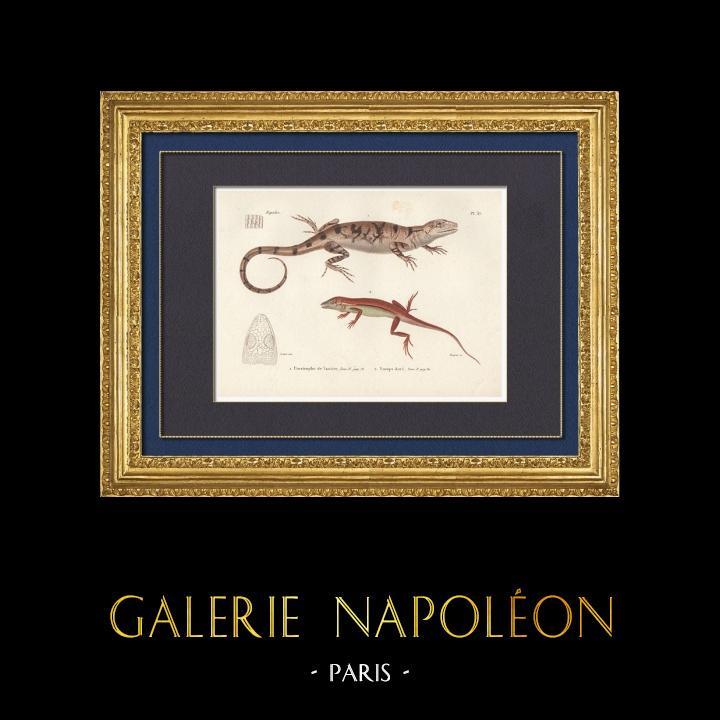 Antique Prints & Drawings   Reptiles - Lizard - Iguana - Urostrophus Vautieri - Norops auratus   Intaglio print   1850