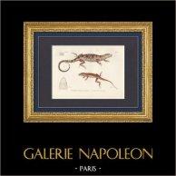 Reptiles - Lizard - Iguana - Urostrophus Vautieri - Norops auratus