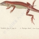 DETAILS 04   Reptiles - Lizard - Iguana - Urostrophus Vautieri - Norops auratus