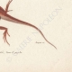DETAILS 06   Reptiles - Lizard - Iguana - Urostrophus Vautieri - Norops auratus