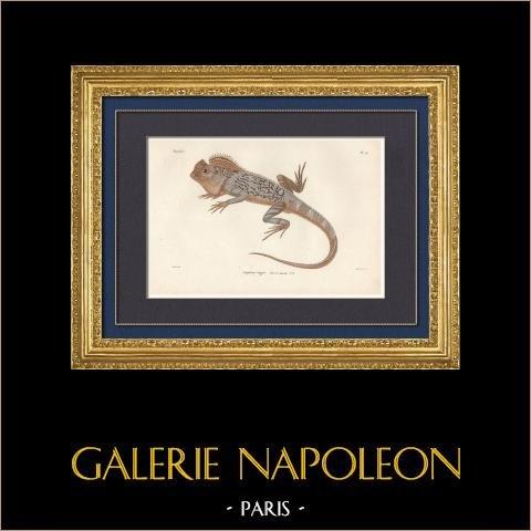 Reptiles - Sauriens - Lézard - Iguane - Lophyre tigré - Lophyrus tigrinus | Gravure originale en taille-douce sur acier gravée par Barrois d'après Prêtre. Aquarellée à la main. 1850