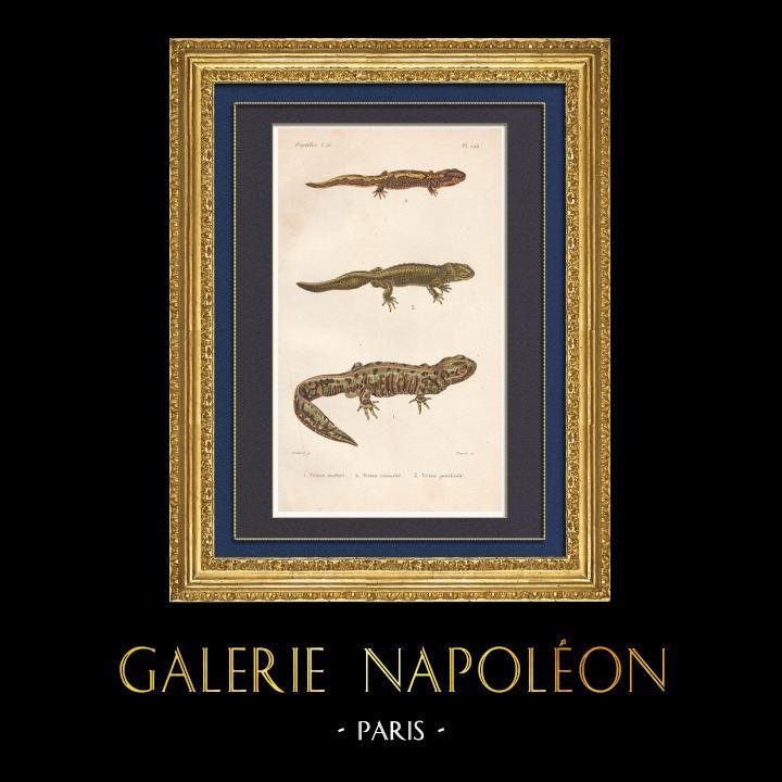 Antique Prints & Drawings | Amphibians - Urodela - Newts - Triturus marmoratus - Lissotriton vulgaris | Intaglio print | 1850