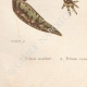 DETAILS 07 | Amphibians - Urodela - Newts - Triturus marmoratus - Lissotriton vulgaris