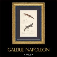 Reptiles - Sauriens - Lézard - Iguane - Gecko - Hémidactyle de Péron - Hémidactyle bordé