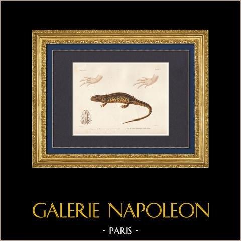 Reptiles - Urodèles  - Lézard - Triton - Axolotl - Euprocte de Poiret - Euproctus | Gravure originale en taille-douce sur acier gravée par Lebrun d'après Oudart. Aquarellée à la main. 1850