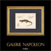 Reptielen - Urodela - Hagedis - Newt - Axolotl - Euprocte de Poiret - Euproctus