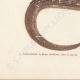 DETAILS 03   Reptiles - Sauria - Lizard - Neusticurus bicarenatus