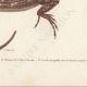 DETAILS 04   Reptiles - Sauria - Lizard - Neusticurus bicarenatus
