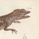 DETAILS 05   Reptiles - Sauria - Lizard - Neusticurus bicarenatus