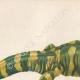 DETAILS 02   Amphibians - Urodela - Axolotl - Barred Tiger Salamander - Ambystoma tigrinum