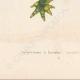 DETAILS 05   Amphibians - Urodela - Axolotl - Barred Tiger Salamander - Ambystoma tigrinum
