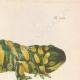 DETAILS 07   Amphibians - Urodela - Axolotl - Barred Tiger Salamander - Ambystoma tigrinum