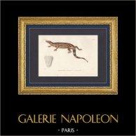 Reptiles - Sauria - Monitor lizard - Lizard - Heloderma horridum