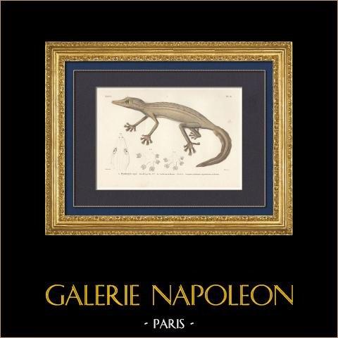 Reptiles - Sauriens - Lézard - Gecko - Ptyodactyle rayé | Gravure originale en taille-douce sur acier gravée par Barrois d'après Prêtre. Aquarellée à la main. 1850