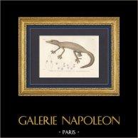 Reptiles - Sauriens - Lézard - Gecko - Ptyodactyle rayé