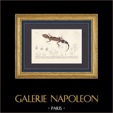 Reptiles - Sauriens - Lézard - Gecko - Gymnodactyle de Milius - Platydactyle Théconyx | Gravure originale en taille-douce sur acier gravée par Barrois d'après Prêtre. Aquarellée à la main. 1850