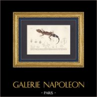 Reptiles - Sauriens - Lézard - Gecko - Gymnodactyle de Milius - Platydactyle Théconyx