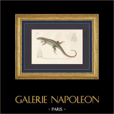 Reptiles - Sauriens - Lézard - Gecko - Gerrhosaure à deux bandes | Gravure originale en taille-douce sur acier gravée par Davesne d'après Prêtre. Aquarellée à la main. 1850