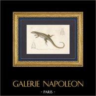 Reptiles - Sauriens - Lézard - Gecko - Gerrhosaure à deux bandes