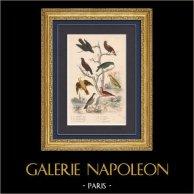 Birds - Passerines - Green oropendola - Venezuelan troupial - Eurasian golden oriole - Blackbird - Turdus - Garden Warbler