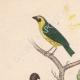 DETALLES 01 | Pájaros - Passeriformes - Verdecillo - Pardillo piquigualdo - Amandava - Bluebill