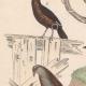DETALLES 02 | Pájaros - Passeriformes - Verdecillo - Pardillo piquigualdo - Amandava - Bluebill