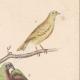 DETALLES 04 | Pájaros - Passeriformes - Verdecillo - Pardillo piquigualdo - Amandava - Bluebill