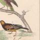 DETALLES 05 | Pájaros - Passeriformes - Verdecillo - Pardillo piquigualdo - Amandava - Bluebill