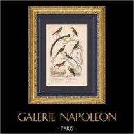 Oiseaux - Passereaux - Pinson du Nord - Veuve à collier d'or - Pape - Verdier d'Europe