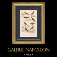 Oiseaux - Passereaux - Alouette - Alouette des champs - Rossignol des murailles - Fauvette à tête noire