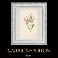 Botany - Plant - Alps - Sea lavender - Limonium - Plumbaginaceae