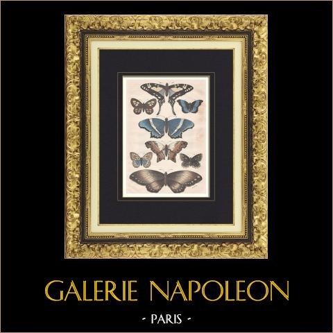 Papillons de Sausipata - Pérou | Gravure sur bois originale dessinée par Mesnel, gravée par Hildibrand. Aquarellée à la main. 1883