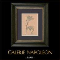 Arte Giapponese - Pittura - Fiori - Lilium