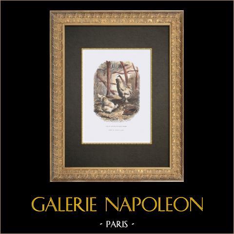 Galliformi - Gallo - Gallina - Razza Moroseta | Incisione xilografica originale disegnata da Jacque, incisa da Rouget. Acquerellata a mano. 1862