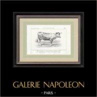 Races Bovines - Vache - Race Garonnaise